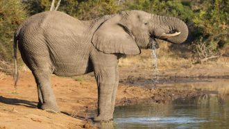 an elephant takes a drink from a lake