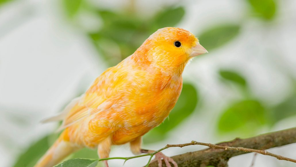 yellow canary bird sitting on a branch