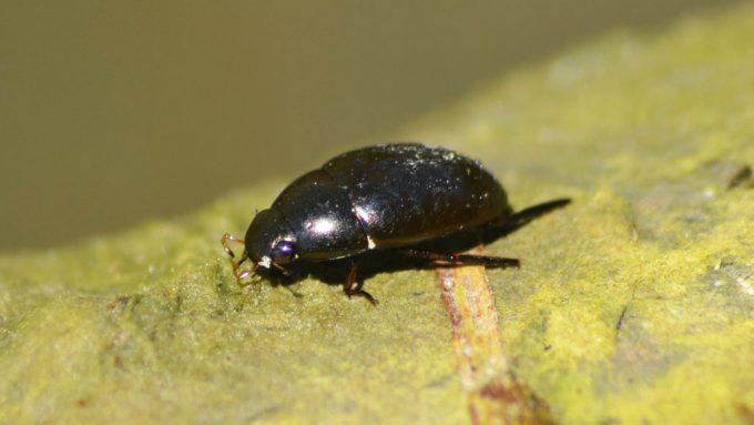 a water scavenger beetle