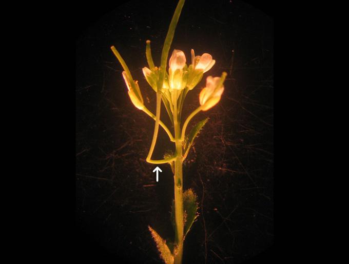 image of Arabidopsis thaliana plant with cantilever-like organ