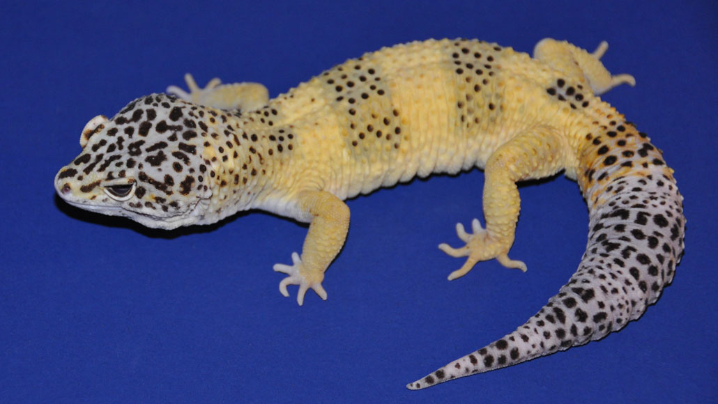 image of Mr. Frosty the gecko