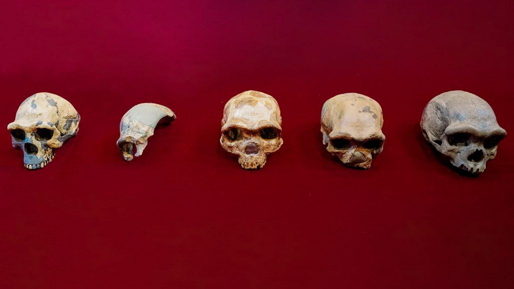 five skulls from different Homo species