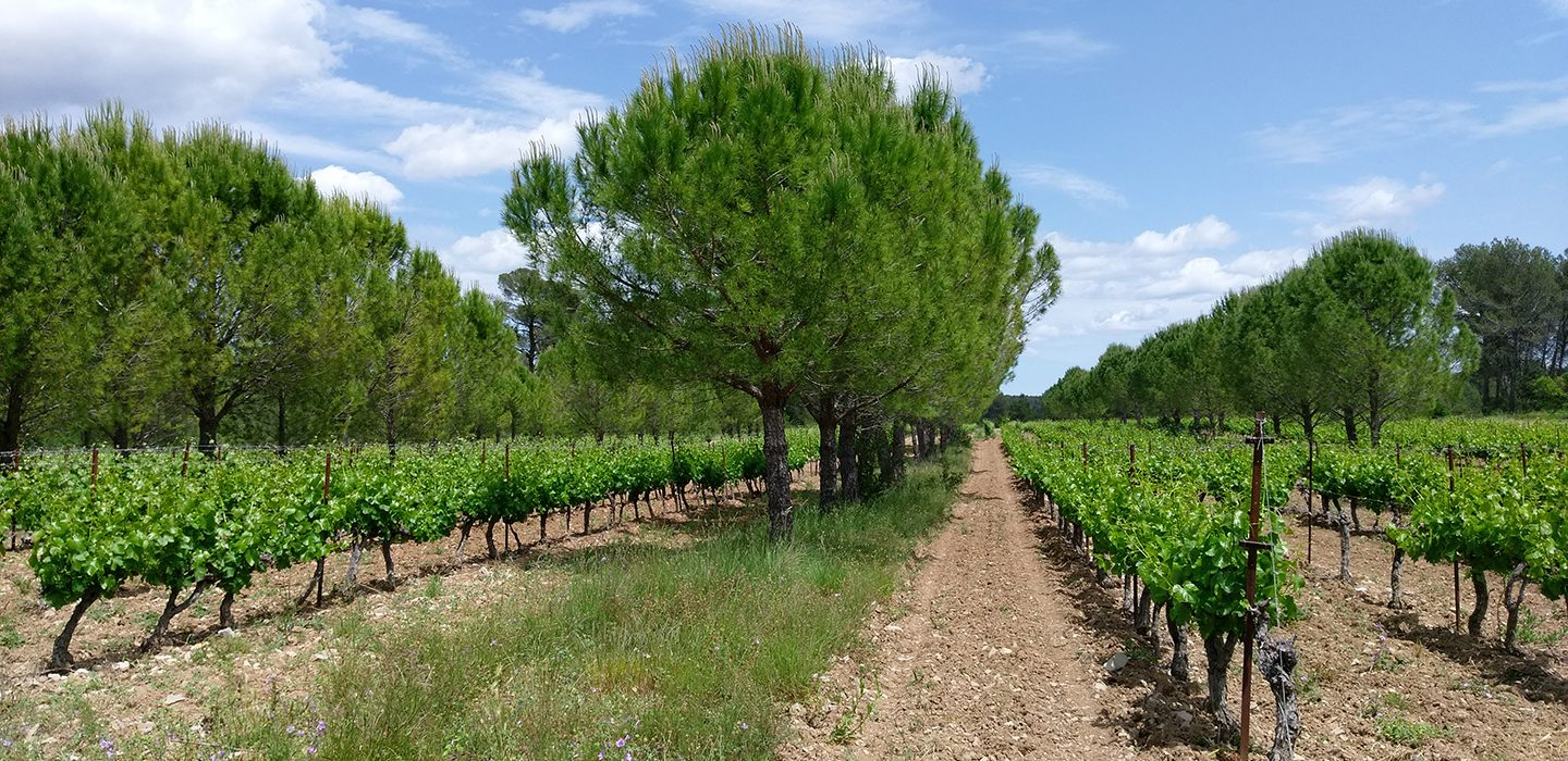a field with rows of pine trees alternating with rows of grape vines