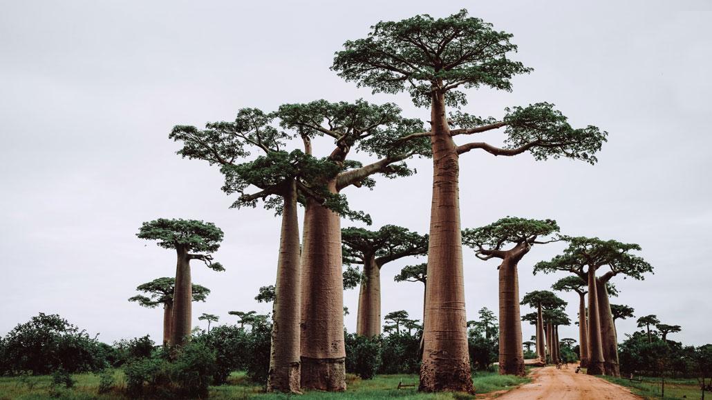 a photo of baobab trees