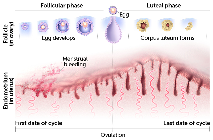 graph/list of hormones and menstrual cycle
