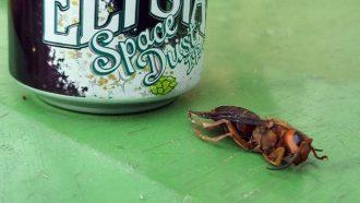 Asian giant hornet, AKA 'murder hornet', next to a beer can