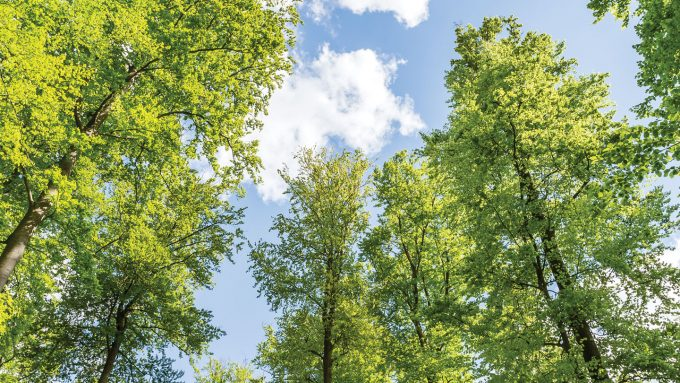 a view to the tops of several tall, skinny trees with light green leaves