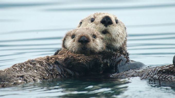 two sea otters in water