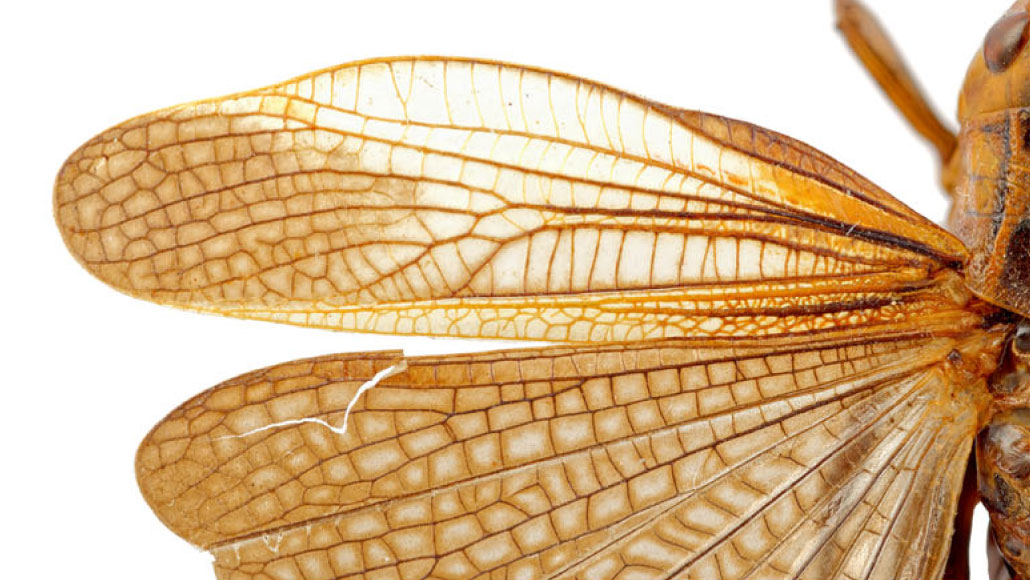 close-up of wings of large banded grasshopper