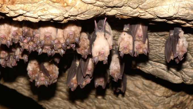 greater horseshoe bats hanging from cave ceiling