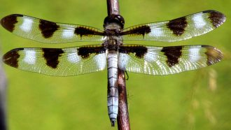 Twelve-spotted skimmer dragonfly on branch