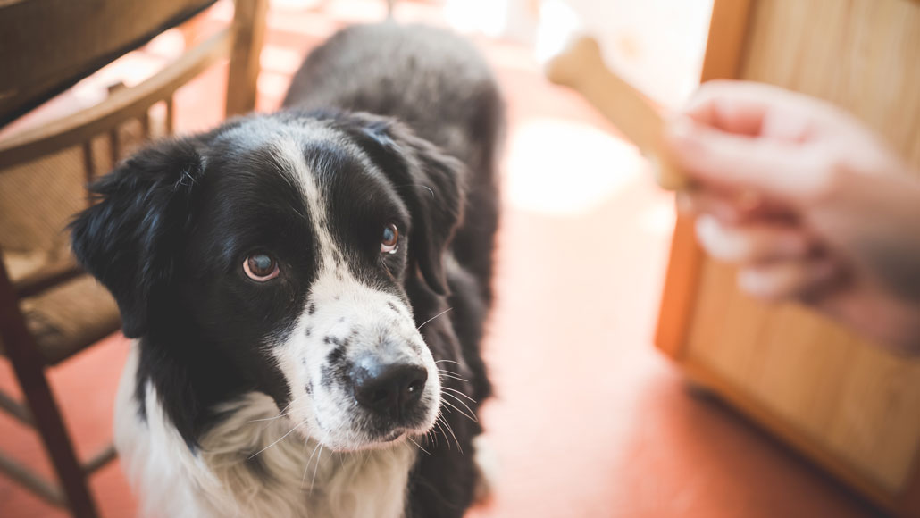 black and white dog looking at dog treat in person's hand