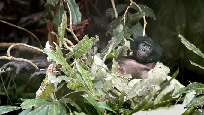 a bonobo reclines in a nest made of branches covered in large leaves