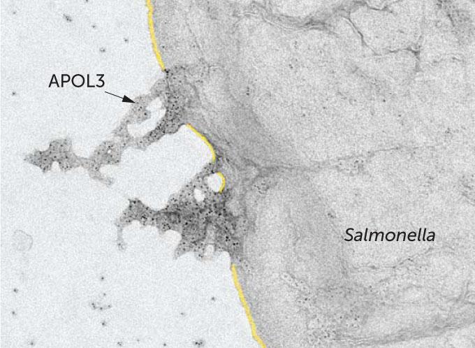 APOL3 protein dissolving Salmonella