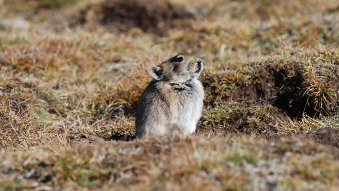 a pika peeking out of a burrow in the ground