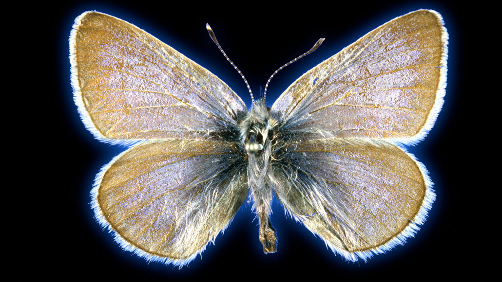 a Xerces blue butterfly against a black background