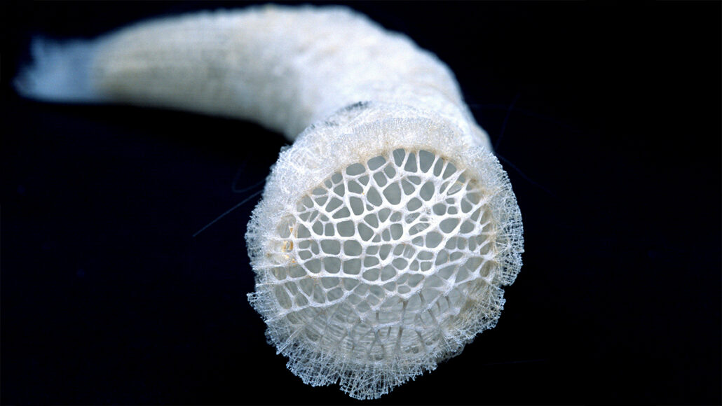 Venus's-flower-basket sea sponge