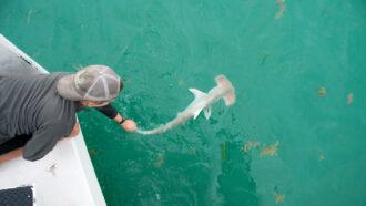researcher releasing a great hammerhead shark into the ocean