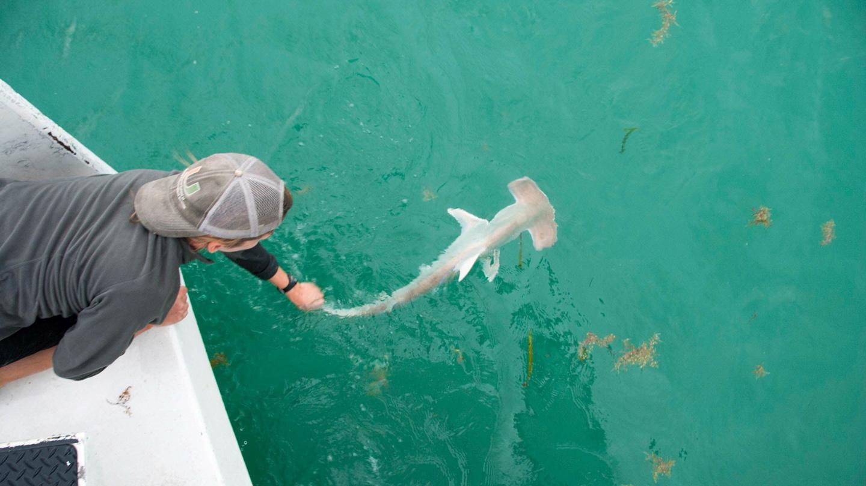 A hammerhead shark baby boom near Florida hints at a historic nursery