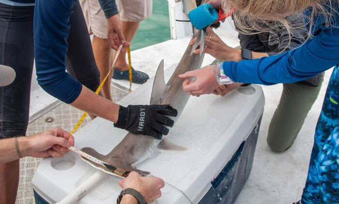 researchers measuring a baby hammerhead shark on top of a cooler