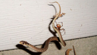 A brown widow spider crawling along a garter snake trapped in its web against a white wall