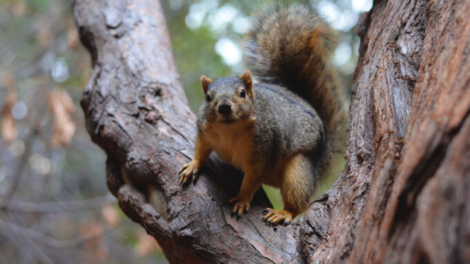 a fox squirrel in a tree