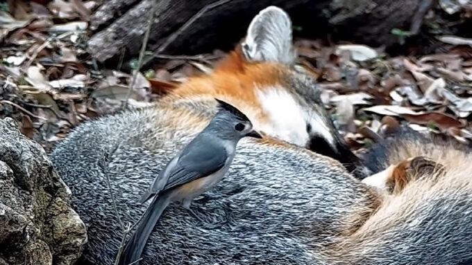 titmouse bird plucking fur from a fox