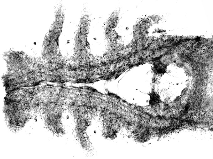 Se ha descubierto un cerebro fosilizado «uno en un millón» de cangrejos herradura, Forma parte de la Vida