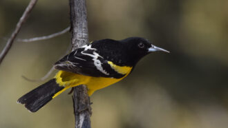 A Scott's oriole, with black neck and head, black-and-white wings and yellow underbelly, perched on a branch