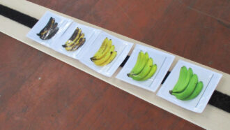 pictures of bananas arranged in a row from brown to yellow to green
