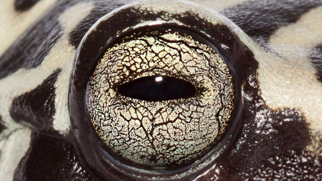Hyloscirtus tigrinus frog eye up close