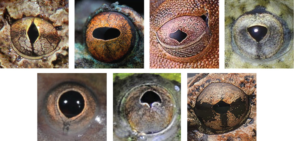 images showing different types of frog pupil shape