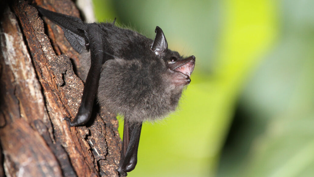 a greater sac-winged bat pup clings to a tree and vocalizes