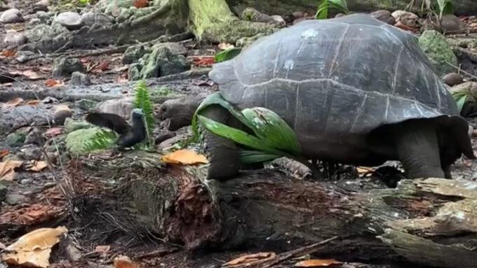 giant tortoise lunging toward a bird on a log