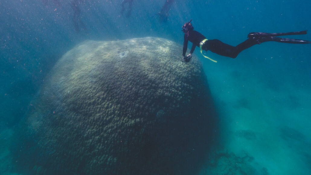 a scientist in snorkeling gear swims over the large Muga dhambi coral