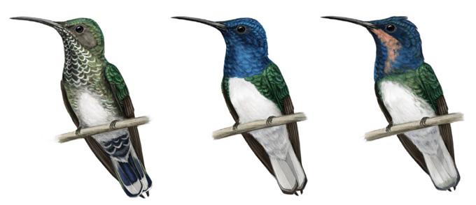 illustratie van een vrouwelijke vogel met normale kleur, een mannelijke vogel met een blauwe kop en keel en een juveniele vogel met een blauwe kop en een perzik keel