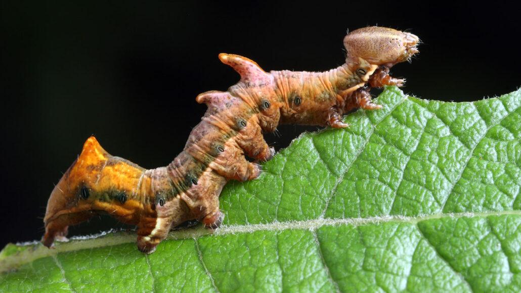orange caterpillar eating a leaf