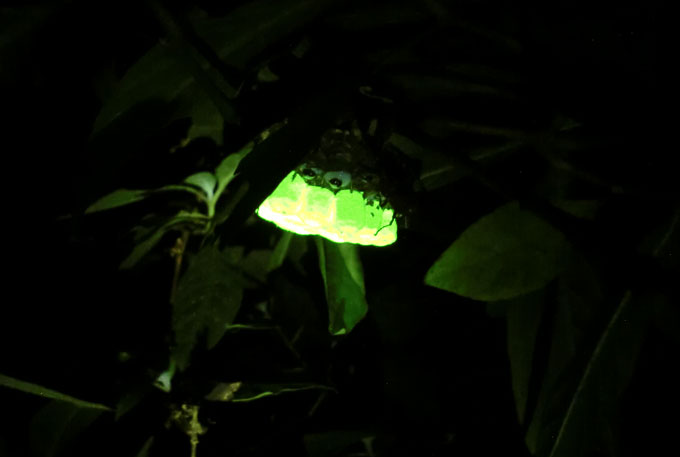 A paper wasp nest in Vietnam glows at night