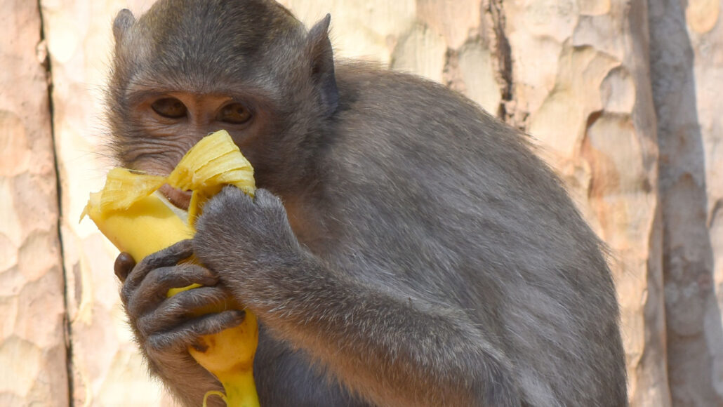 A monkey munches on a banana