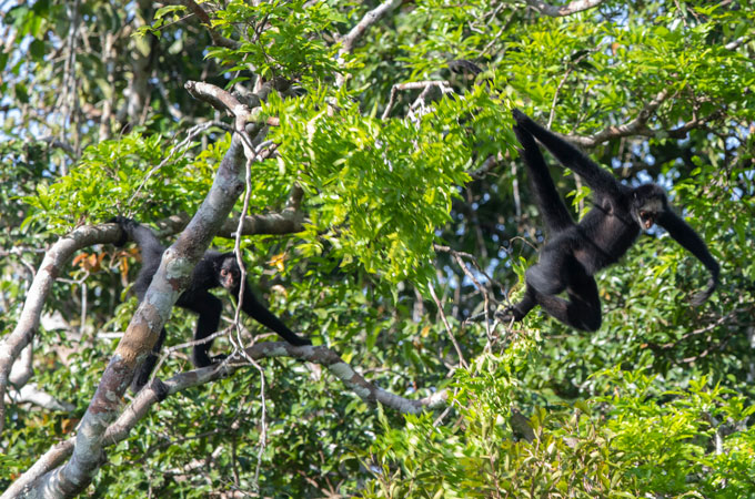 two white-cheeked spider monkeys swing from trees