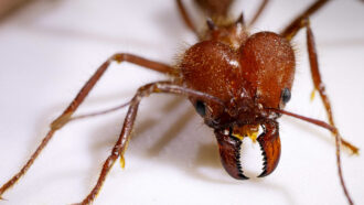a leaf-cutting ant, with sharp mandibles visible