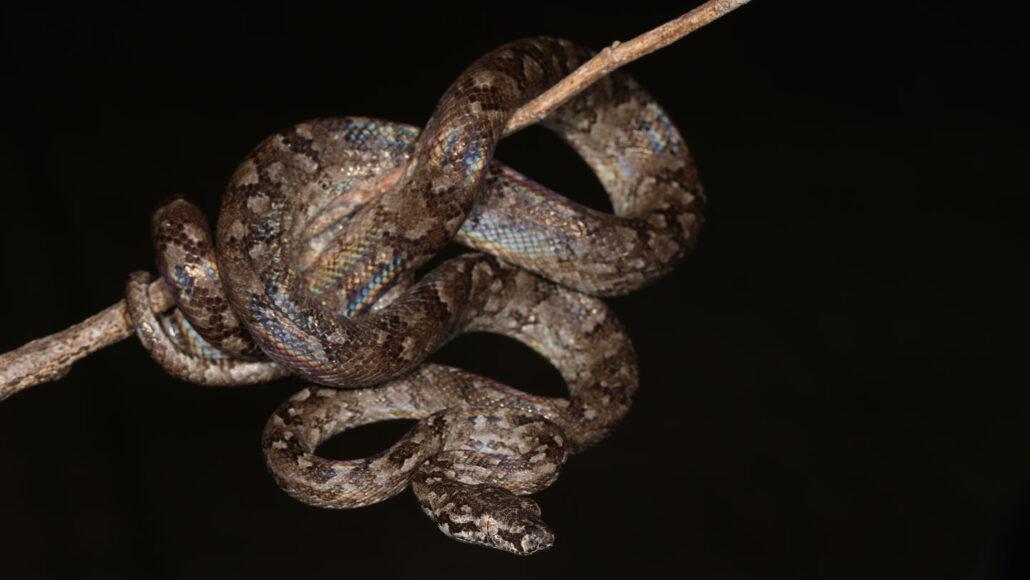 The newly described Hispaniolan vineboa