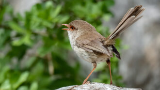 a brown bird perches on a branch and sings