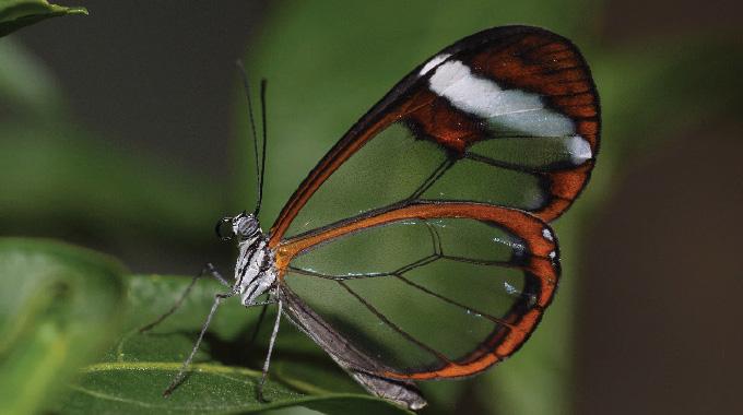 A glasswing butterfly