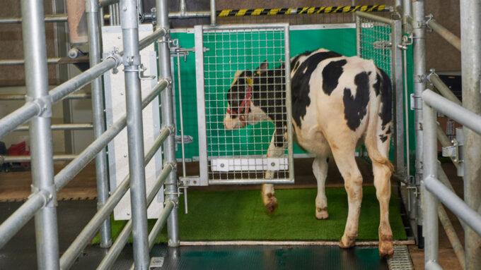 a cow enters a bathroom stall