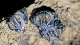 three common vampire bats roosting in a cave
