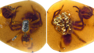 An ancient female spider and her egg sac trapped in amber