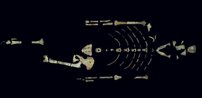 the partial skeleton of Lucy