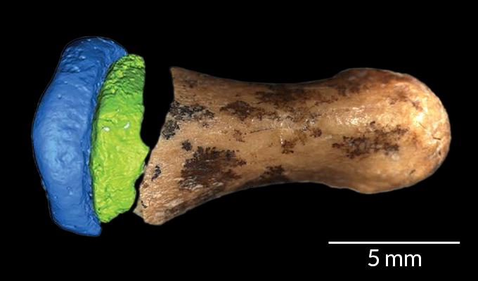 Denisovan Finger Bone