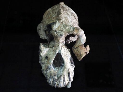 Australopithecus anamensis skull